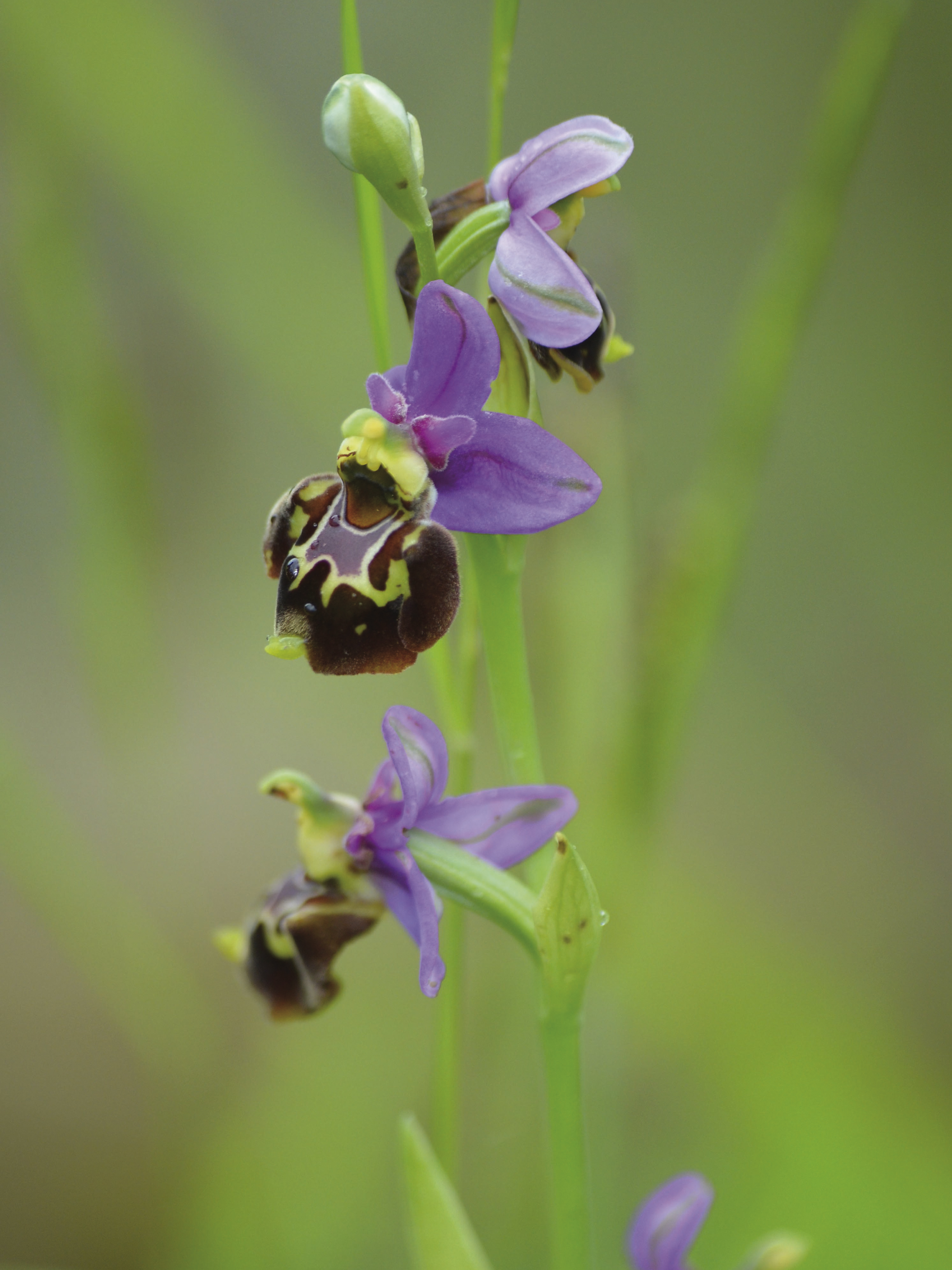 Ophrys bourdon ©PNRMR