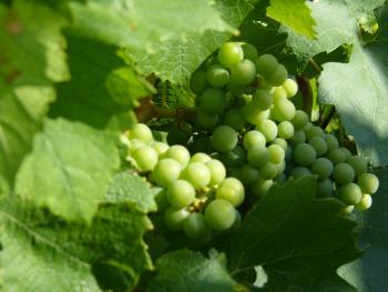 Vignoble de Venteuil ©PNRMR